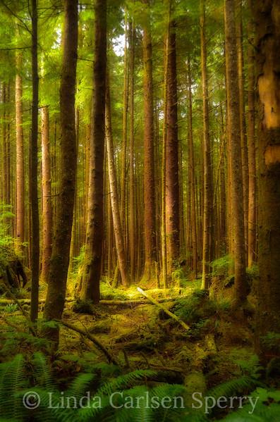Olympic Rain Forest