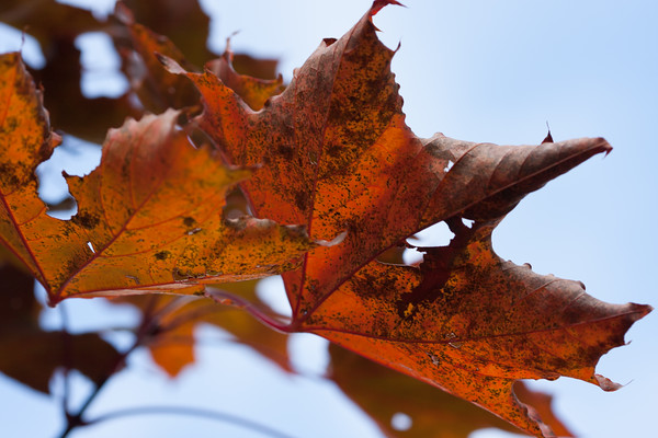 Norway maple leaves, bright orange against a clear autumn sky.