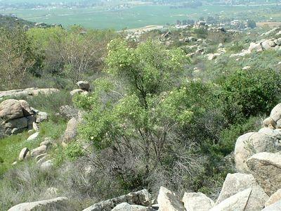 Mexican Elderberry (Sambucus mexicana). Lakeview Mountains, 22 Mar 2003