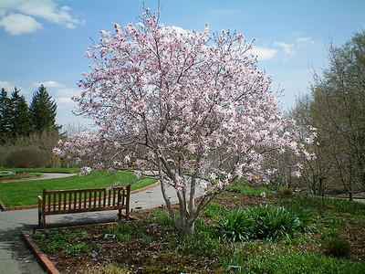 Magnolia Leonard Messel 1