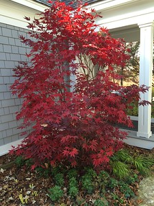 Acer palmatum 'Bloodgood' 3 fall color