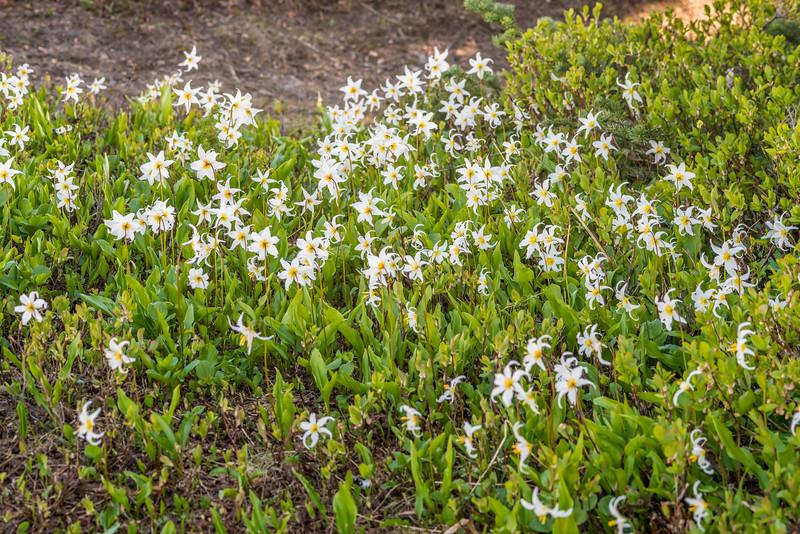 Avalanche Lily (Erythronium montanum). Paradise, Mount Rainier National Park