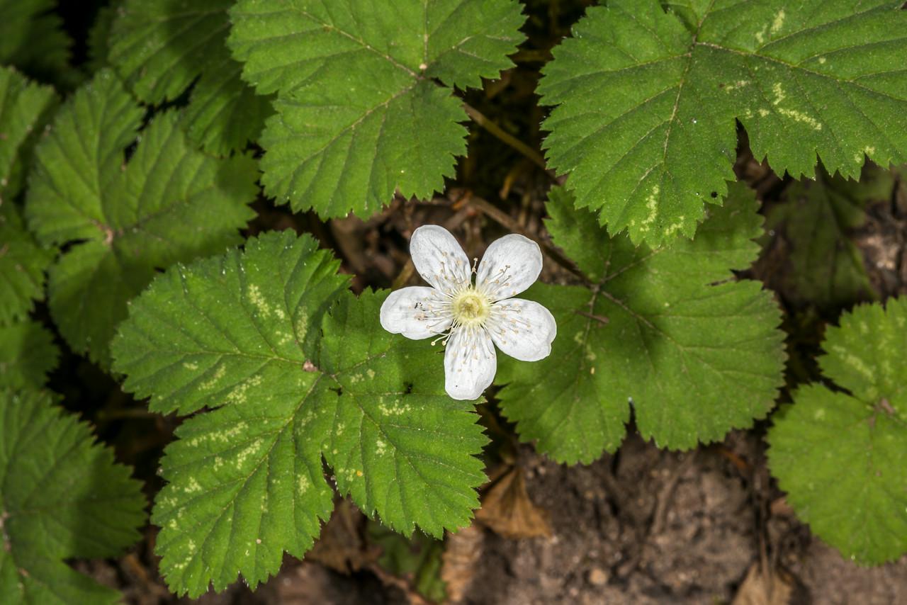 Dwarf bramble (Rubus lasiococcus). Snow Lake Trail, Mount Rainier National Park