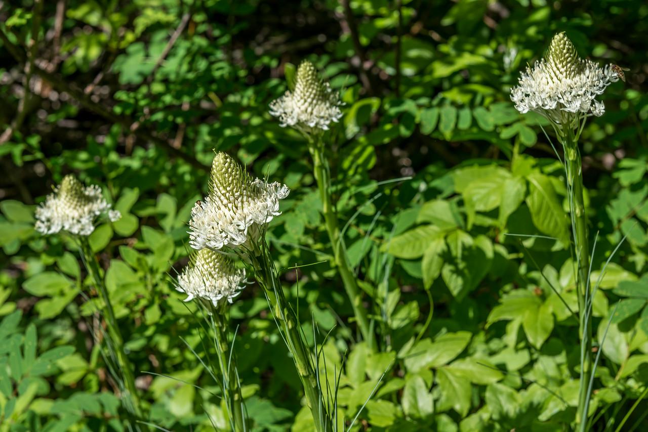 Bear grass (Xerophyllum tenax). Snow Lake Trail, Mount Rainier National Park
