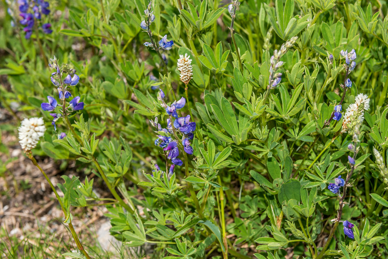 American Bistort (Polygonum bistortoides) and subalpine lupine (Lupinus arcticus). Paradise, Mount Rainier National Park