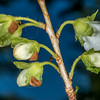 White rhododendron (Rhododendron albiflorum). Snow Lake Trail, Mount Rainier National Park