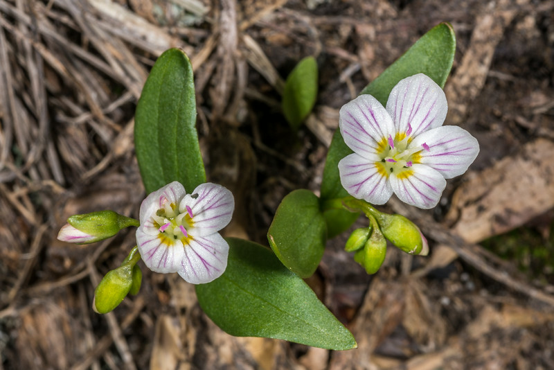 Western spring beauty (Claytonia lanceolata). Paradise, Mount Rainier National Park