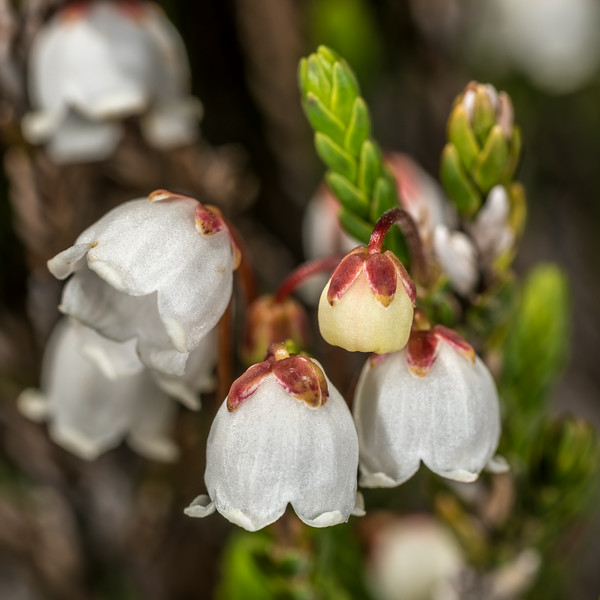 White mountain heather (Cassiope mertensiana). Paradise, Mount Rainier National Park