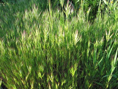 Foxtail Chess or Red Brome Grass (Bromus madritensis rubens), Homeland, 4 Feb 2005