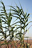 Giant reed (Arundo donax). Santa Ana River floodplain, Colton, CA. 18 Jul 2008.
