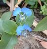 Asiatic Dayflower (Commelina communis) - 10 Oct 2004