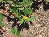 Common Purslane (Portulaca oleracea), Homeland, 20 Aug 2005
