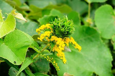 Solidago  (goldenrod).