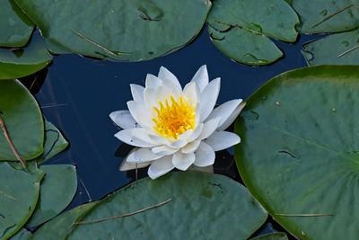 European white water lily - Nymphaea alba.