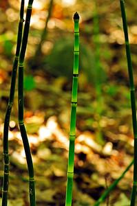Equisetum hyemale (Horsetail, Tall scouring rush)