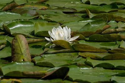 White Water Lily (Nymphaea odorata).