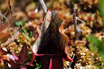 Sarracenia purpurea - Pitcher plant.