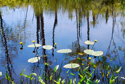 Yellow Pond Lilies in Cedar Swamp. Nuphar lutea (Yellow Pond Lily, Cowlily, Spatterdock).