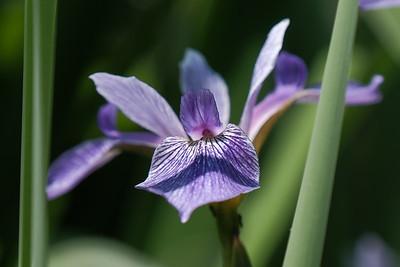 Iris versicolor.
