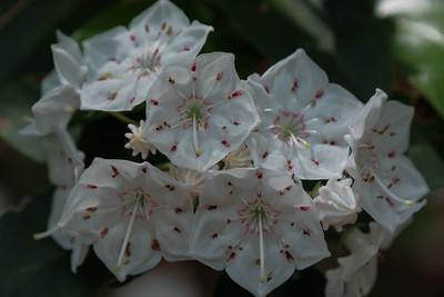 Mountain Laurel -Kalmia latifolia.