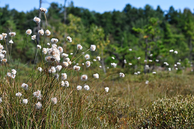 Eriophorum gracile - Slender Cottongrass.