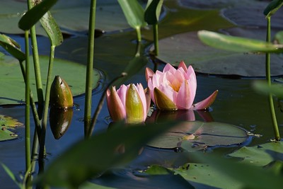 Pink Water-lily (Nymphaea odorata).