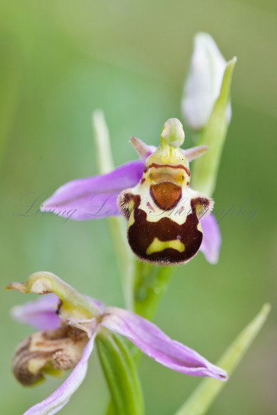 Bee Orchid (Ophrys apifera) found on National Trust nature reserve at Collard Hill, Somerset
