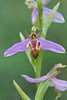 Wasp Orchid (Ophrys apifera var. trolii) found on National Trust nature reserve at Collard Hill, Somerset