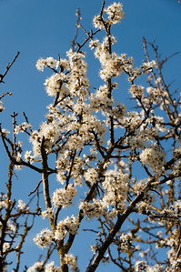 Buckthorn blossom