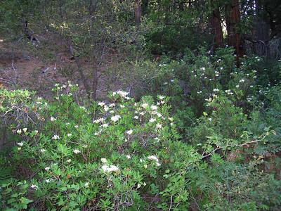 Western Azalea (Rhododendron occidentale), Deer Springs Trail, Idyllwild, CA, 23 Jun 2007