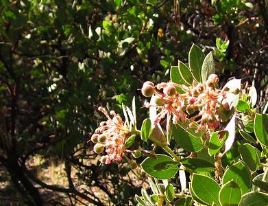 Pink-bracted Manzanita (Arctostaphylos pringlei), Deer Springs Trail, Idyllwild, CA, 23 Jun 2007