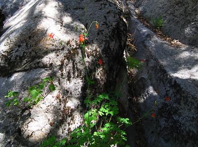 Scarlet Columbine (Aquilegia formosa), Deer Springs Trail, Idyllwild, CA, 23 Jun 2007