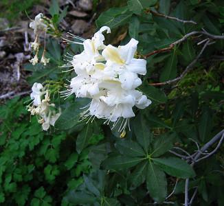 Western azalea (Rhododendron occidentale), Devil's Slide Trail, Fern Valley, CA 24 Jun 2006