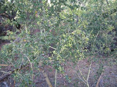 Mountain Lilac (Ceanothus leucodermis), Deer Springs Trail, Idyllwild, CA, 23 Jun 2007