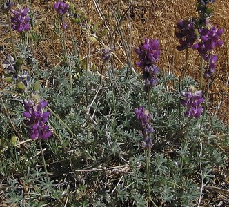 Unidentified Lupine, Deer Springs Trail, San Jacinto Mountains, 26 Jun 2005