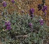 Unidentified Lupine, Deer Springs Trail, San Jacinto Mountains, 26 Jun 2005