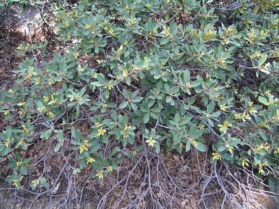 Bush chinquapin (Chrysolepis sempervirens), Tahquitz Peak Trail, Fern Valley, CA 24 Jun 2006