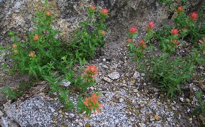 Scarlet paintbrush (Castilleja miniata), Devil's Slide Trail, Fern Valley, CA 24 Jun 2006