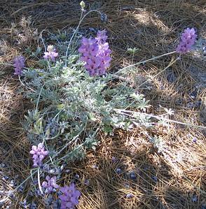 Southern mountain lupine (Lupinus excubitus), Deer Springs Trail, San Jacinto Mountains, 26 Jun 2005