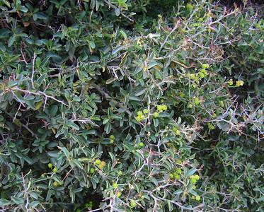Whitethorn ceanothus (Ceanothus cordulatus)?, Devil's Slide Trail, Fern Valley, CA 24 Jun 2006
