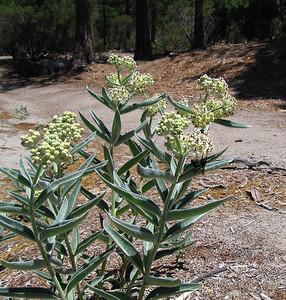 Indian Milkweed (Asclepias eriocarpa), Deer Springs Trail, 23 Jun 2007