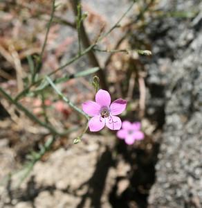 Splendid Gilia (Gilia splendens). Dogwood Canyon, Blue Jay. 26 Jul 2008.