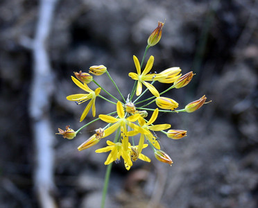 Common Golden Stars (Bloomeria crocea).   Dogwood Canyon, Blue Jay. 4 Jul 2008.