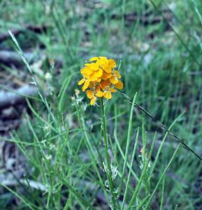 Western Wallflower (Erysimum capitatium). Dogwood Canyon, Blue Jay. 4 Jul 2008.