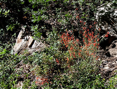 Scarlet Bugler (Penstemon labrosus). Dogwood Canyon, Blue Jay. 26 Jul 2008.