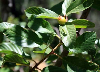 Western Chokecherry (Prunus virginiana).  Dogwood Canyon, Blue Jay, Ca. 26 Jul 2008.