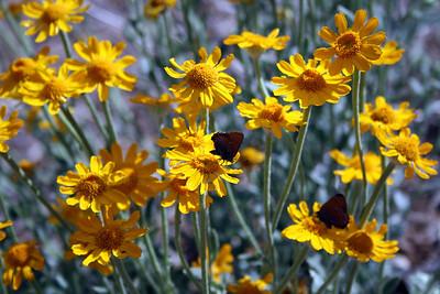 Woolly Sunflower (Eriophyllum lanatum var. obovatum).  Dogwood Canyon, Blue Jay. 4 Jul 2008.