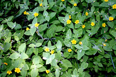 Musk Monkeyflower (Mimulus moschatus). Dogwood Canyon, Blue Jay. 26 Jul 2008.