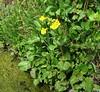Seep Spring Monkeyflower (Mimulus guttatus), Lakeview Mountains, 2 Apr 2005