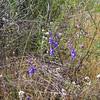 Parry's Larkspur (Delphinium parryi)<br /> Lakeview Mountains, 18 Apr 2010